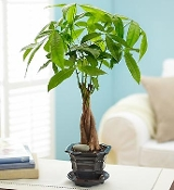Artistic Money Tree Plant - Deluxe
