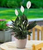 Peace Lily in Decorative Basket - Medium
