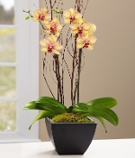 """Beautiful Blooming"" Orchid Plant - Deluxe (Available 3/29-4/11)"