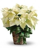 Premium Holiday Poinsettia - White