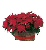Double Holiday Poinsettia in Basket